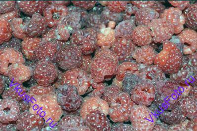 <i>Приготовление этого варенья отличается от традиционного тем, что здесь нужно сначала сцедить сок выделившийся ягодами, довести его до кипения и лишь затем положить ягоды. </i> Малину перебрать.
